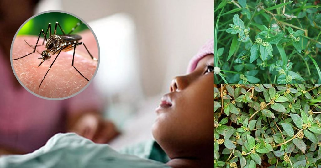 Herbal Remedies For Dengue Fever